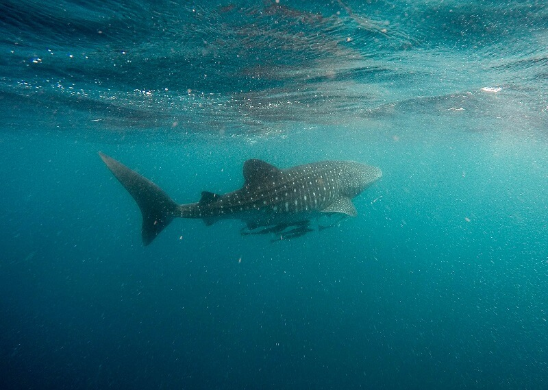 whale shark tours exmouth